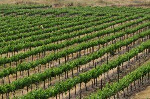 Vinuri Înălțimile Golan