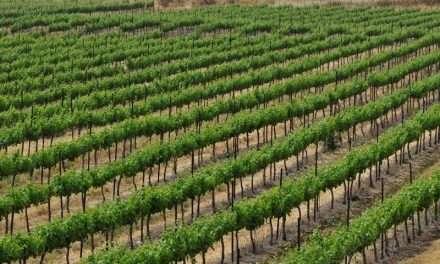 Vinuri Înălțimile Golan. Vinuri din Israel