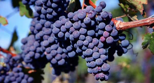 De ce Merlot este vinul prieten cu toate gusturile? 1