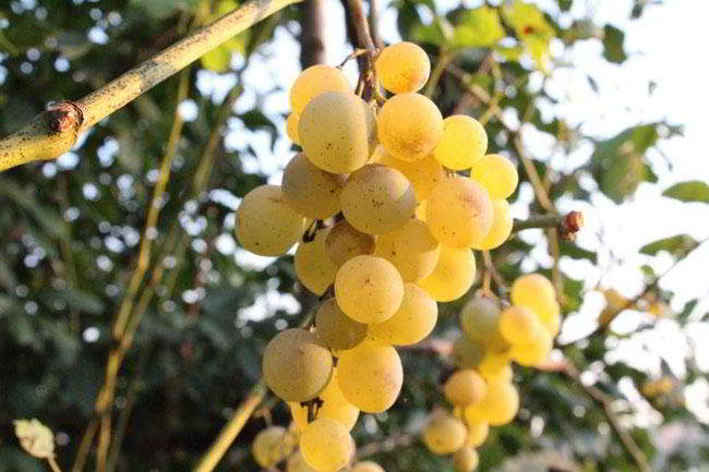 soiuri vinuri moldovenesti