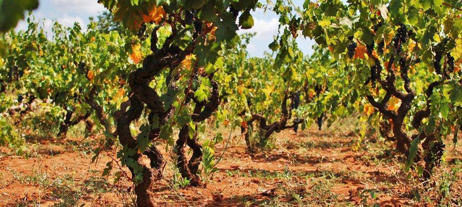 Magnificii din sudul Italiei: Primitivo și Negroamaro 4