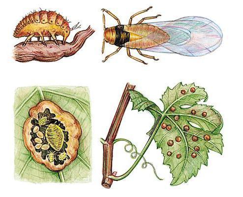filoxera-viei